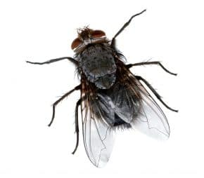חרק מעופף
