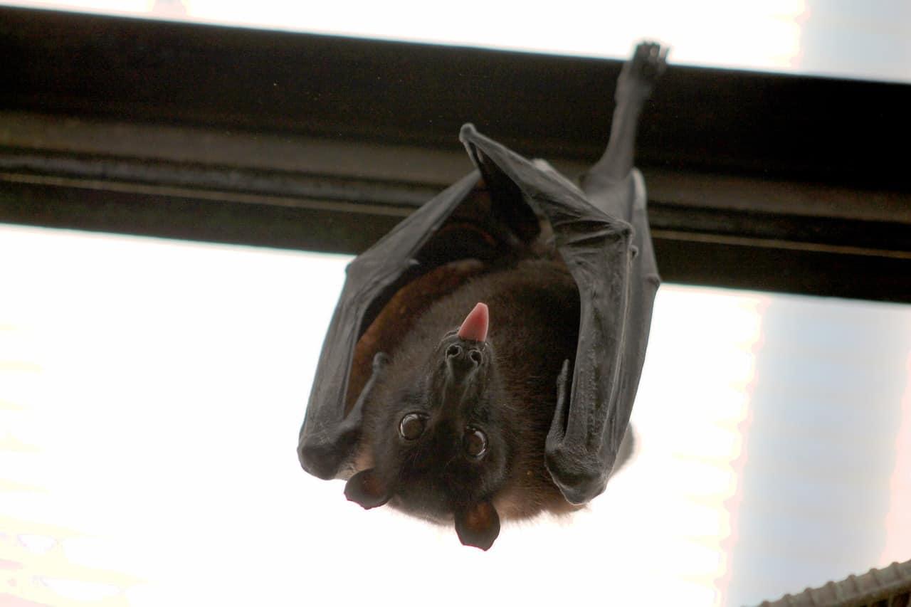 איך להרחיק עטלפים באופן יעיל